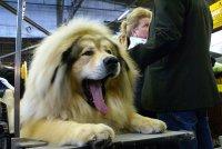 ziewający Tibetan mastiff